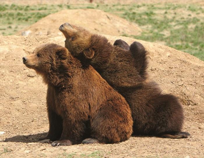 Grizzlybears 9cf7b1b1