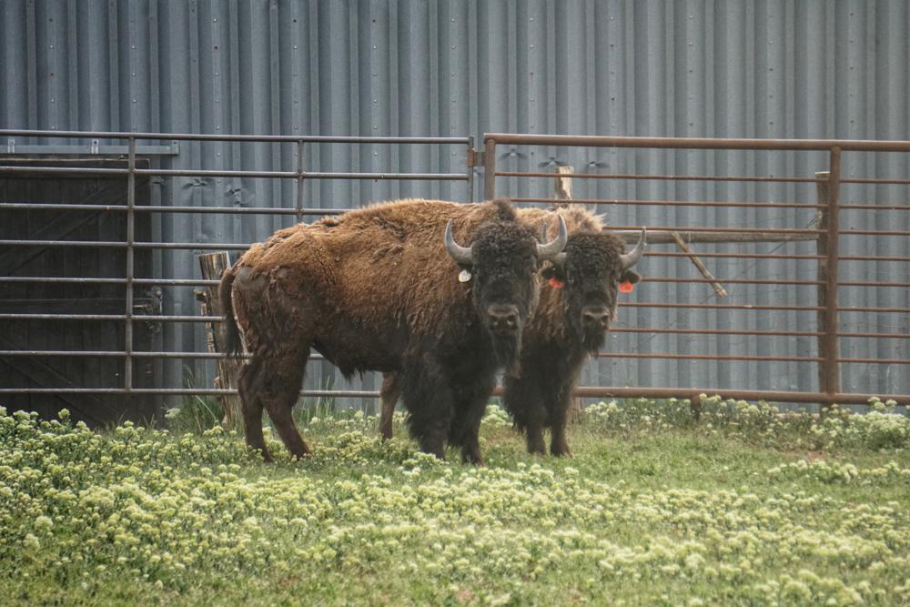 Ag Report Gleason Bison